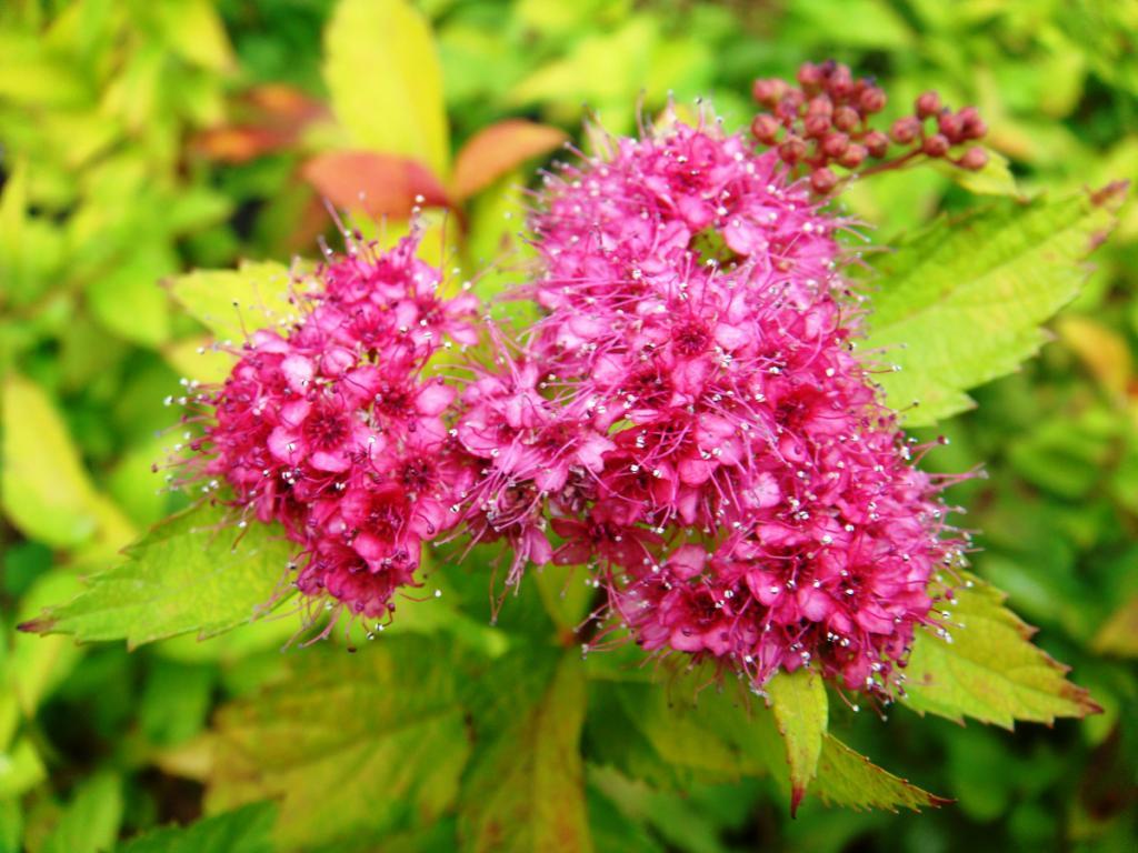 Цветение малиновой спиреи