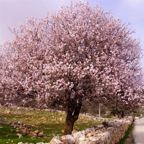 высота миндального дерева