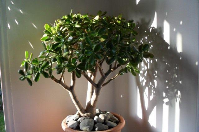 денежное дерево как ухаживать в домашних условиях