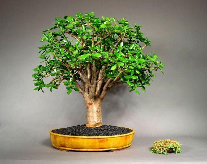 комнатное растение денежное дерево как ухаживать