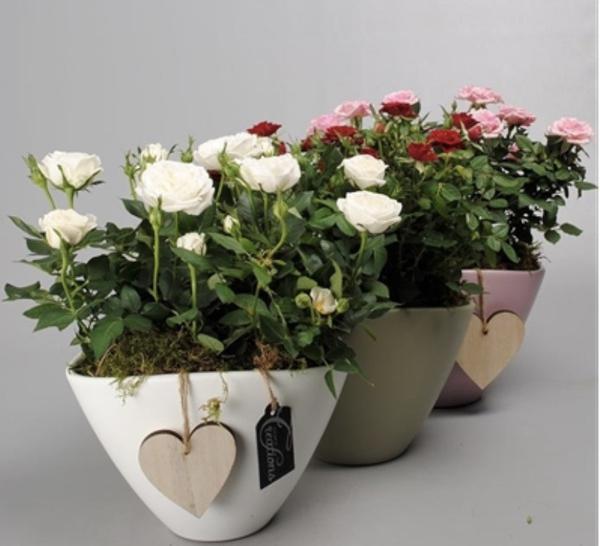как пересадить розу домашнюю
