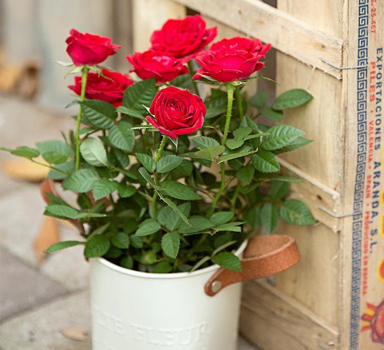 роза в домашних условиях