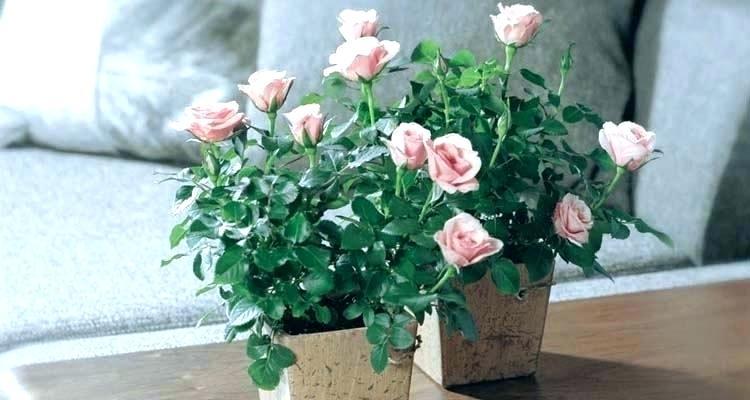 как пересадить домашнюю розу после покупки