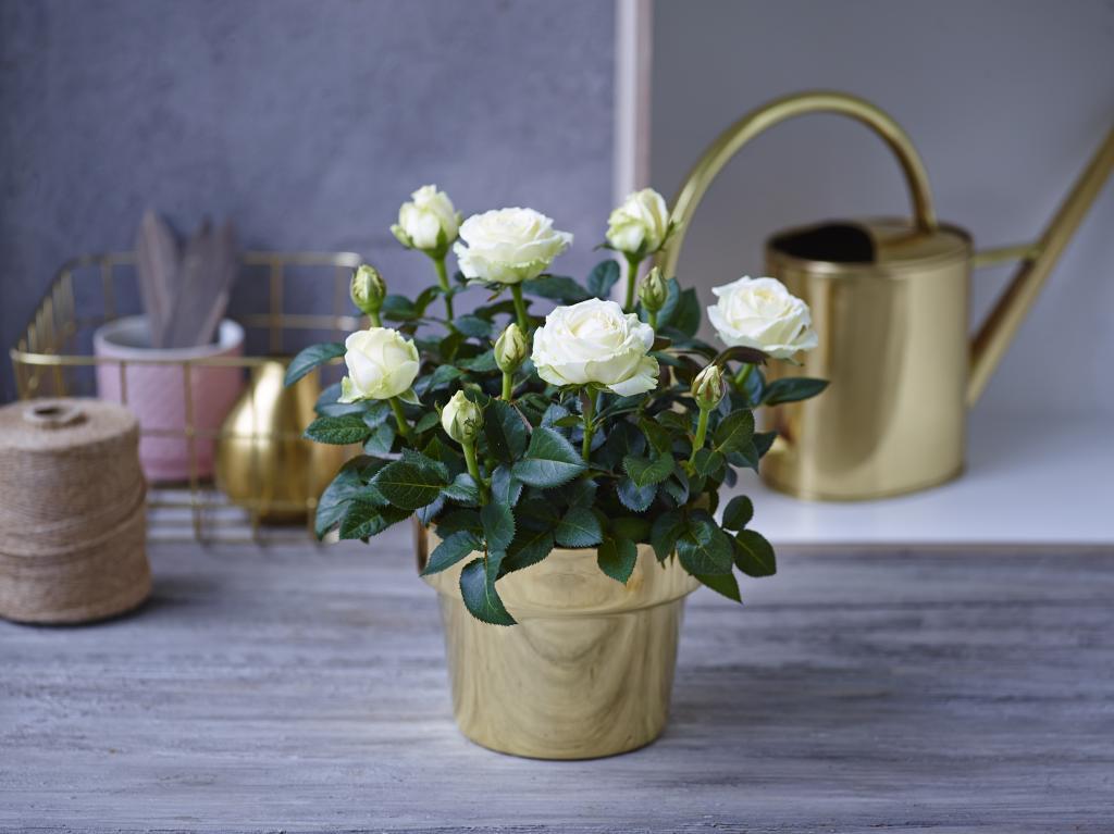 розы вянут после пересадки