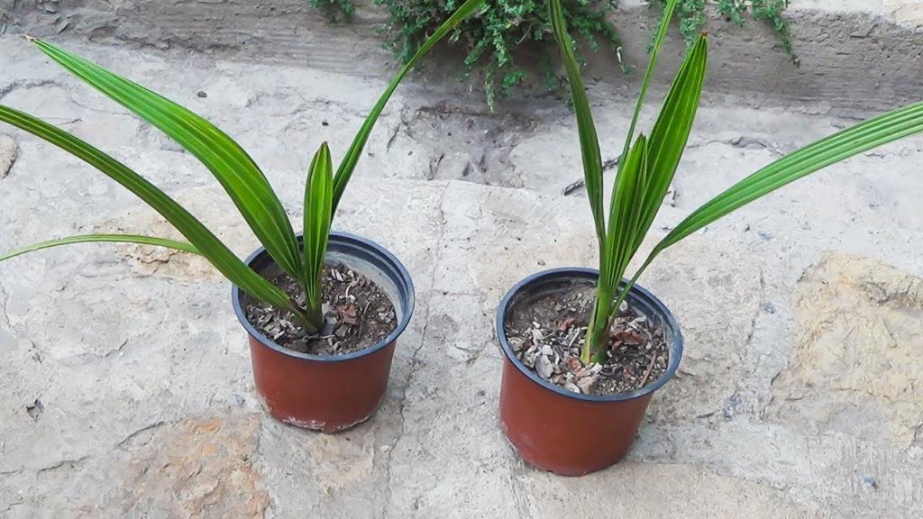 Финиковая пальма выращивание из косточки и уход в домашних условиях