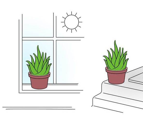 алоэ на окне
