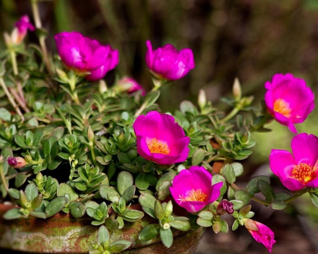 Портулак: выращивание из семян, когда сажать семенами на рассаду в домашних условиях, фото, посадка и уход, виды, особенности выращивания
