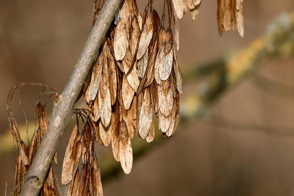 будут ясень с семенами картинки время