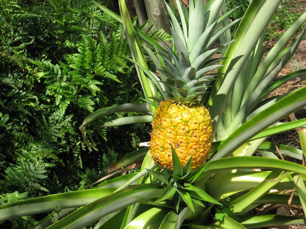 правда ананас дерево фото красный цвет вот