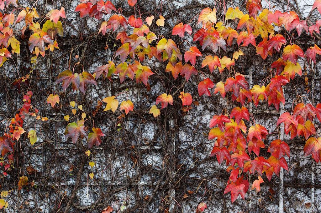 Девичий виноград: нюансы выращивания из черенков и семян, лучшее время для посадки, особенности ухода, разновидности и фото сортов