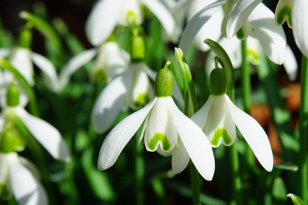 Первые цветы весны подснежники