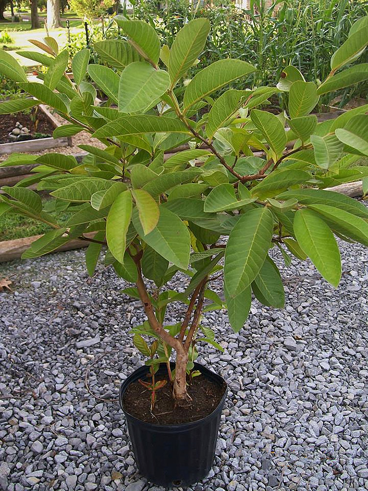 комнатное растение гуава