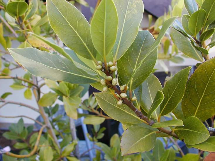 Лавровое дерево — выращивание в домашних условиях