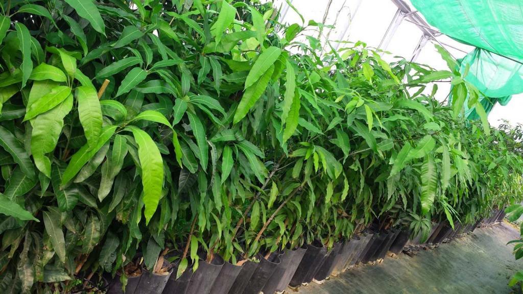 Как ухаживать за манго в домашних условиях