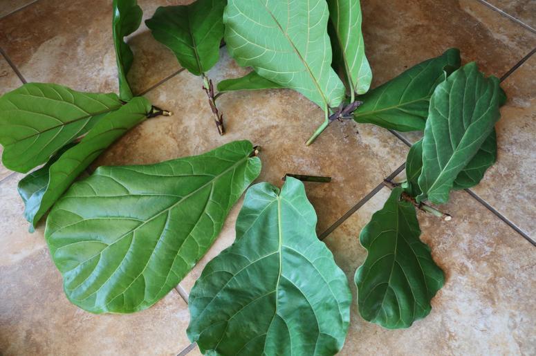 как посадить фикус каучуконосный черенком