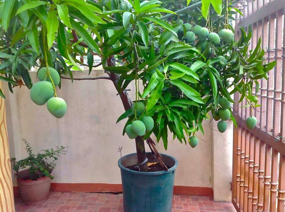 манго как растет