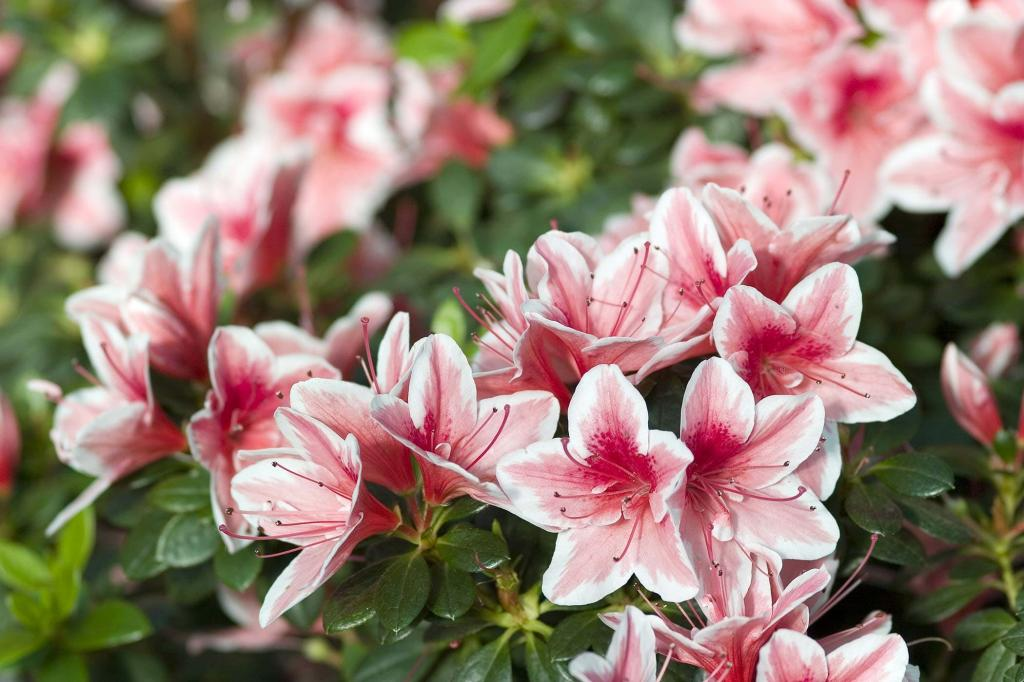 картинки азалии цветка неоднозначные фотографии