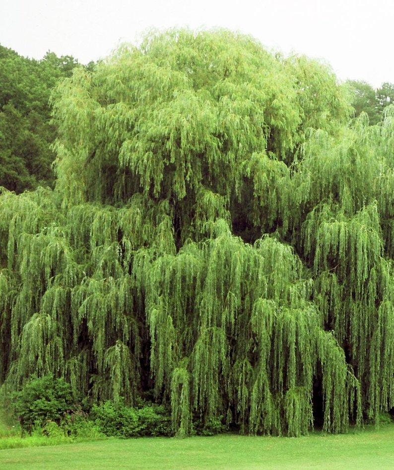 ива дерево фото часто делает акцент