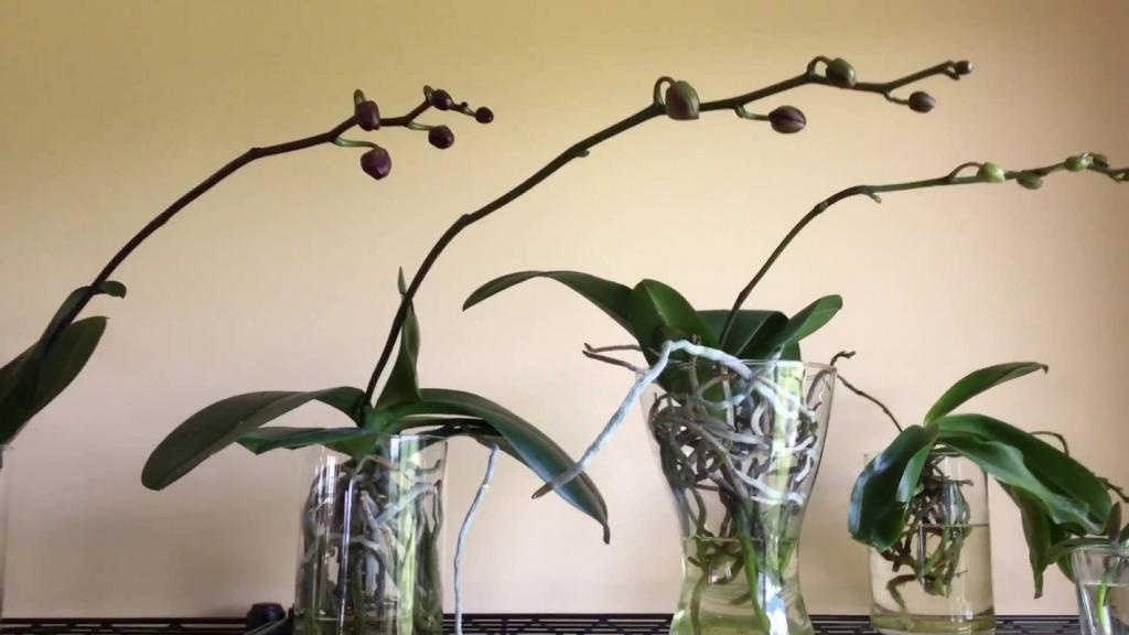Как нарастить корни у орхидеи над водой: эффективные советы