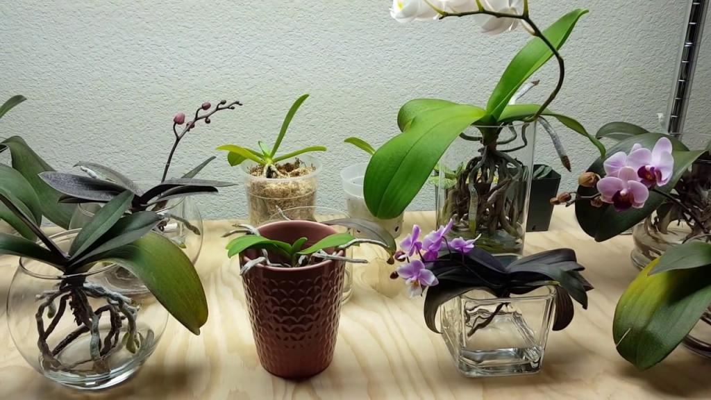 сколько держать орхидею в воде при поливе