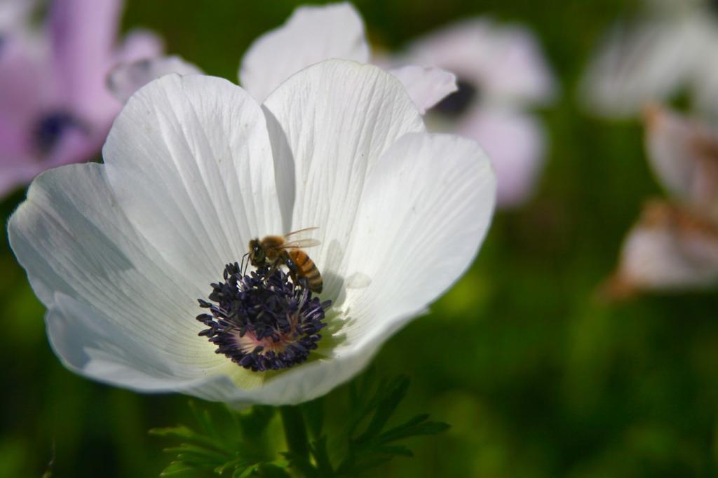 цветок клубневой анемоны