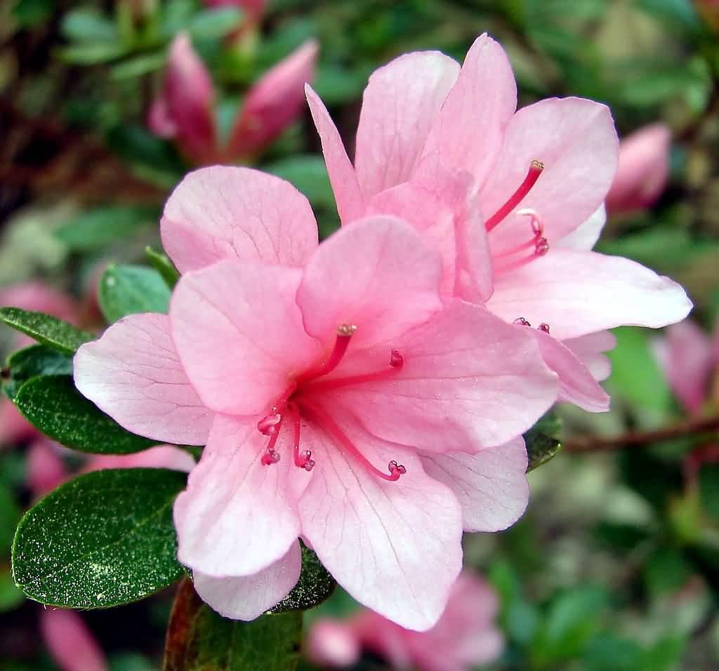 вестминстер биг цветок азалия картинка следует